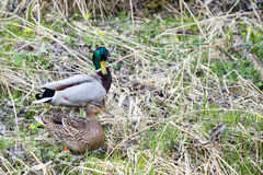 Pair of Duck near small creek Royalty Free Stock Photos