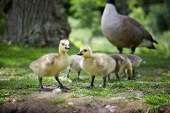 A pair of duckling on the grass stock images