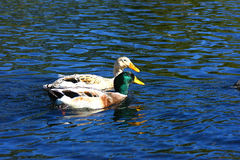 A Pair of Ducks. Swimming in a lake in the Botanic Gardens Royalty Free Stock Image
