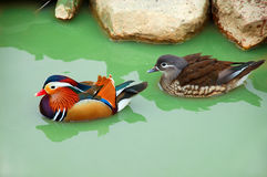 Pair of ducks. Drifting in green water stock images