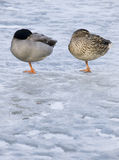 Pair of ducks Royalty Free Stock Photo