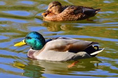 Pair of ducks Royalty Free Stock Photography