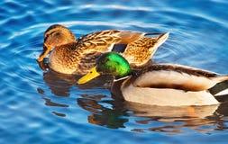 Pair of ducks Royalty Free Stock Photo