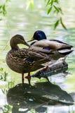 Pair of ducks Stock Photos