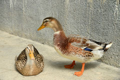 A Pair Of Ducks Royalty Free Stock Photography