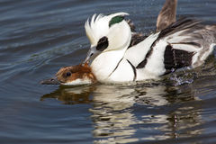 Pair of ducks copulating. Male and female smew birds having sex. Ducks copulating. Male and female smew Mergellus albellus birds having sex on lake. Breeding Stock Photo
