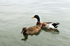 A pair of ducks Stock Image