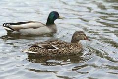 A pair of ducks Royalty Free Stock Photos