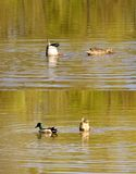 Pair of ducks dunk together. The closeup of a duck couple which appeared together under the water surface Stock Image