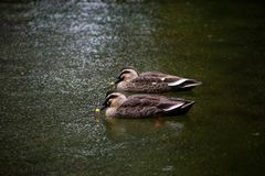 Pair of ducks in the rain Stock Images