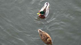 Pair of ducks floating on water above view. Pair of ducks floating on water from above view stock footage