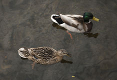 Pair of ducks floating on the water. Pair of male and female mallard duck floating on the water Royalty Free Stock Image
