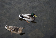 Pair of ducks floating on the water. Pair of male and female mallard duck floating on the water in the river Royalty Free Stock Photos
