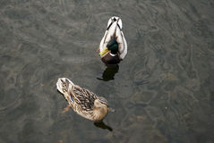 Pair of ducks floating on the water. Pair of male and female mallard duck floating on the water in the river Stock Photos