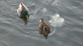 Pair of ducks floating on water side view. Pair of ducks floating on water with ice from side view stock footage