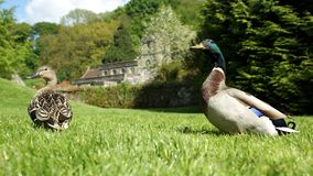 Pair of ducks. On grassy bank Stock Photography