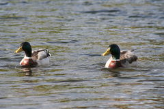 Pair of ducks on lake. Looking in same direction stock images
