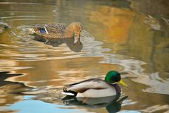 Pair of Ducks. A pair of mallard ducks make ripples in the water of the pond they're swimming in Royalty Free Stock Image