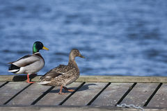 Pair of ducks. A pair of mallards standing on a jetty Stock Image