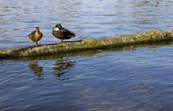 Pair of ducks in nature Royalty Free Stock Image