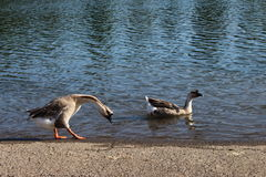 Pair of ducks near a lake. Photograph taken near a lake but the pair was unhappy to see me there. they were ready to attack me but any how I took the photograph royalty free stock photos