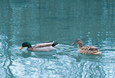 Pair of ducks in the pond. Pair of ducks swimming in the pond Stock Photo