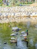 A pair of ducks in the pond. Male and female. royalty free stock image