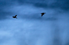 Pair of Ducks Silhouetted in the Sky at Dusk. Pair of Ducks Silhouetted in the Dim Sky at Dusk Royalty Free Stock Photos