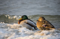 Pair of ducks. Siting on snow royalty free stock photography