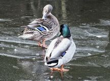 A pair of ducks stood on the ice in a frozen river. With reflections Stock Photo