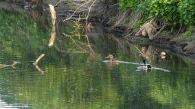 A pair of ducks swim in a swampy lake waters in summer stock video footage