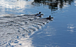 Pair of Ducks swimming in the Bighorn River near Thermopolis Wyoming Stock Image