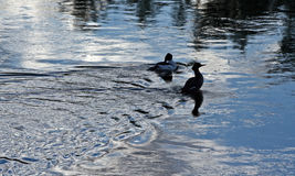 Pair of Ducks swimming in the Bighorn River near Thermopolis Wyoming Stock Images