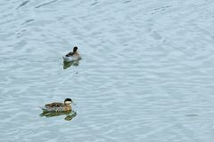 Ducks in the backwater. Pair of ducks swimming placidly in a channel of water, slowly moving away from each other royalty free stock photos