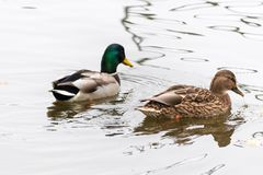 Pair of ducks swimming on a water. High key photography Royalty Free Stock Photos