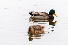 Pair of ducks swimming on a water. High key photography Royalty Free Stock Image