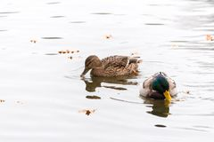 Pair of ducks swimming on a water. High key photography Stock Photo