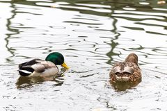 Pair of ducks swimming on a water. High key photography Royalty Free Stock Images