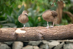 Pair ducks togetherness Stock Photos