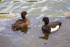 A pair of ducks tufted duck floating in a lake. A pair of ducks tufted duck floating in a pond Stock Photography