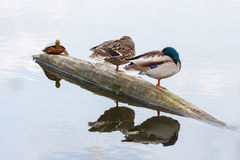 Pair of ducks and turtle on the autumn river Royalty Free Stock Image