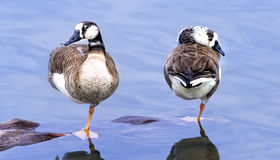 Pair of Ducks. Two ducks standing on one foot in North Carolina Lake royalty free stock photography