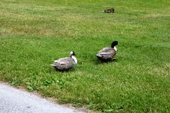 Two ducks are walking in a row, across a green lawn in a city park stock photography