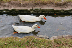 Pair of Ducks Stock Photos