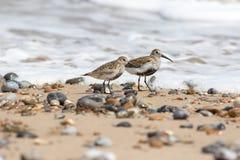 Pair of dunlin small coastal wading birds. Beach wader in summer Stock Photo