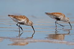Pair of Dunlins Foraging. This pair of Dunlins were foraging along the beaches at Bolivar Flats Royalty Free Stock Photography