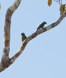 A pair of the Dusky-headed Parakeet. A couple of Dusky-headed Parakeets (Aratinga weddellii) enjoy themselves climbing on a tree at the peruvian Amazon Stock Image