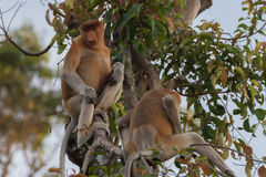 A pair of Dutch Monkey sit on a tree among the leaves Kumai, Indonesia Stock Photo