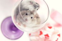 A pair of dwarf hamster in a glass Stock Photo