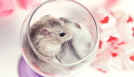 A pair of dwarf hamster in a glass Royalty Free Stock Photo